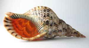 Tofa (Charonia tritonis)